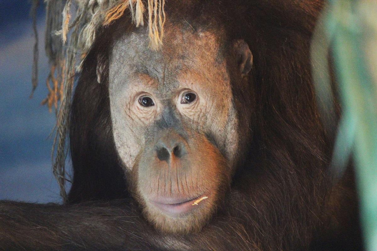 Орангутану Аполлону в нижегородском зоопарке «Лимпопо» исполнилось девять лет