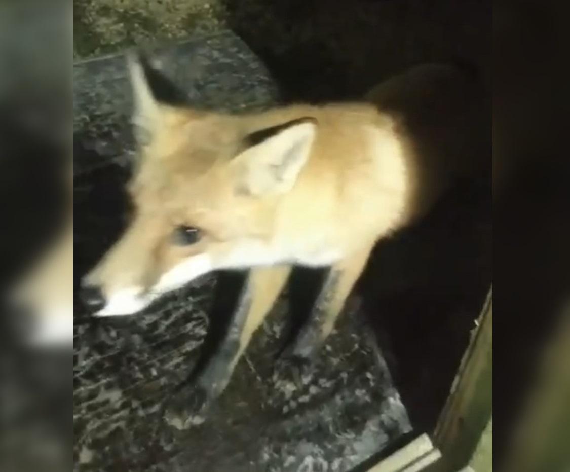 Житель Кулебакского района приручил дикого лиса