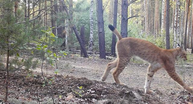 Рыси в «Керженском заповеднике» попали в объектив фотоловушки