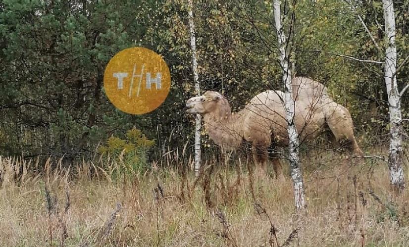 Пасущегося верблюда заметили грибники в борском лесу
