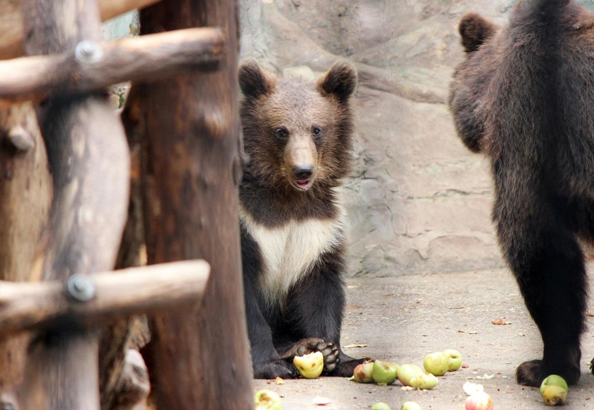 Яблочный день для медведей устроили сотрудники нижегородского зоопарка «Лимпопо»
