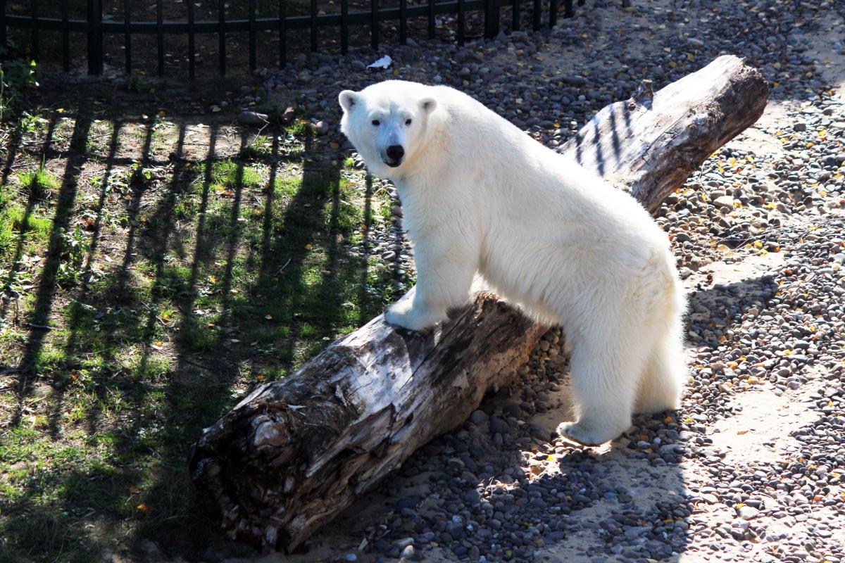 Белая медведица Аяна протестировала новый вольер в зоопарке «Лимпопо» к приезду своего друга